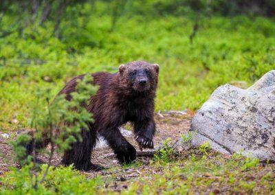 fotowyprawa niedźwiedzie i rosomaki fot. Marcin Dobas