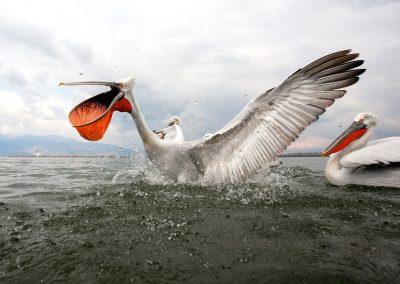 Fotowyprawa - pelikany Kerkini