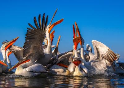 30_Pelikany Kędzierzawe Kerkini - wyprawa fotograficzna