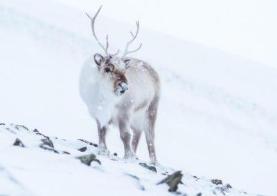 renifer svalbardzki - Spitsbergen