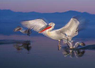 26_Pelikany Kędzierzawe Kerkini - wyprawa fotograficzna