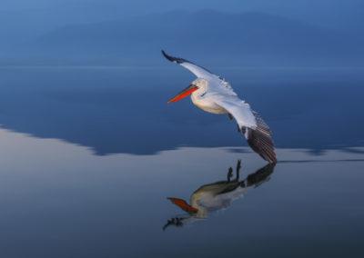 57_Pelikany Kędzierzawe Kerkini - wyprawa fotograficzna