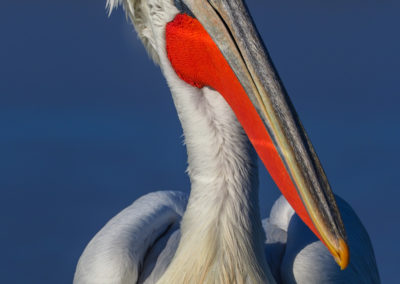23_Pelikany Kędzierzawe Kerkini - wyprawa fotograficzna