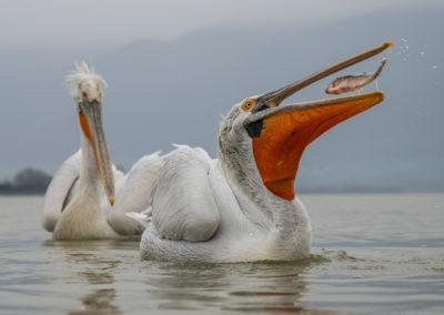 53_Pelikany Kędzierzawe Kerkini - wyprawa fotograficzna