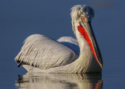 19_Pelikany Kędzierzawe Kerkini - wyprawa fotograficzna