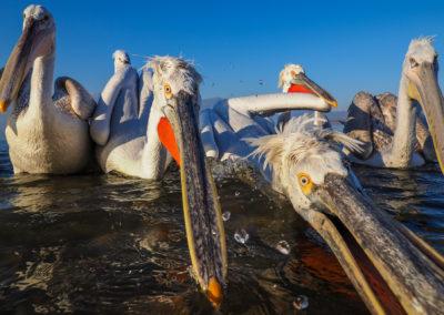 Pelikany Kędzierzawe Kerkini - wyprawa fotograficzna