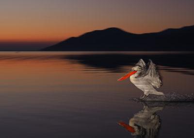 14_Pelikany Kędzierzawe Kerkini - wyprawa fotograficzna