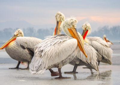 40_Pelikany Kędzierzawe Kerkini - wyprawa fotograficzna