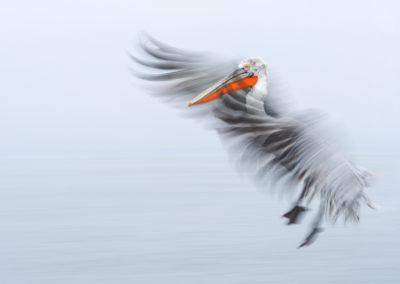 39_Pelikany Kędzierzawe Kerkini - wyprawa fotograficzna