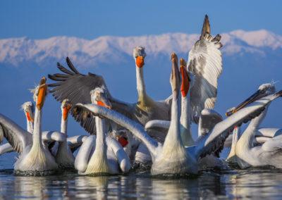 38_Pelikany Kędzierzawe Kerkini - wyprawa fotograficzna
