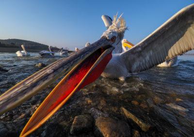 60_Pelikany Kędzierzawe Kerkini - wyprawa fotograficzna