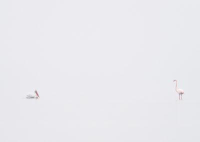 51_Pelikany Kędzierzawe Kerkini - wyprawa fotograficzna